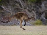 Kangaroo Island Grey Kangaroo (Macropus Fuliginosus)  Kelly Hill Conservation  Australia