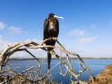 Great Frigate Bird (Frigata Minor)  Isla Genovesa  Galapagos Islands  Ecuador