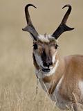Pronghorn (Antilocapra Americana) Buck Eating  Custer State Park  South Dakota  USA