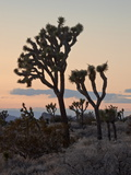 Joshua Trees at Sunset  Joshua Tree National Park  California