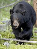 Black Bear (Ursus Americanus)  Jasper National Park  Alberta  Canada  North America