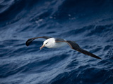 Black-Browed Albatross (Thalassarche Melanophrys)  Southern Ocean  Antarctic  Polar Regions