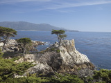 Lonely Pine on 17 Mile Drive Near Monterey  California  United States of America  North America