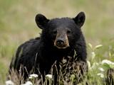Black Bear (Ursus Americanus)  Alaska Highway  British Columbia  Canada  North America