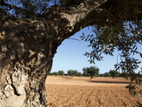 Olive Groves  Gabes  Tunisia  North Africa  Africa