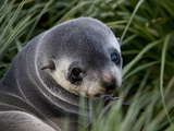 Antarctic Fur Seal (Arctocephalus Gazella)  Husvik Island  Antarctic  Polar Regions