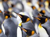 King Penguin Colony (Aptenodytes Patagonicus)  Gold Harbour  South Georgia  Antarctic