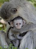 Infant Vervet Monkey (Chlorocebus Aethiops)  Kruger National Park  South Africa  Africa