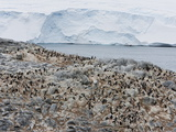 Adelie Penguin Colony (Pygoscelis Adeliae)  Commonwealth Bay  Antarctica  Polar Regions