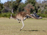 Western Gray Kangaroo (Macropus Fuliginosus) With Joey in Pouch  Yanchep National Park  Australia
