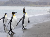 King Penguins (Aptenodytes Patagonicus)  Salisbury Plain  South Georgia  Antarctic  Polar Regions