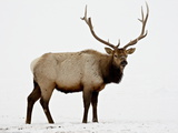 Bull Elk (Cervus Canadensis) in Snow  Yellowstone National Park  Wyoming