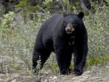 Black Bear (Ursus Americanus)  Banff National Park  Alberta  Canada  North America