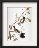Audubon: Chickadee