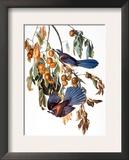 Audubon: Scrub Jay  1827-38