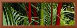 Bamboo Trees  Hawaii  USA
