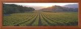 Sunset  Vineyard  Napa Valley  California  USA