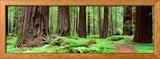 Trail, Avenue of the Giants, Founders Grove, California, USA Photo encadrée