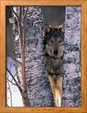 Gray Wolf Near Birch Tree Trunks, Canis Lupus, MN Photo encadrée par William Ervin