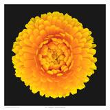 Pot - Marigold