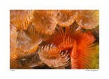 Feather Duster Colony