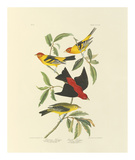 Louisiana and Scarlet Tanager