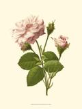 Rose victorienne II Reproduction d'art par R. Guillot