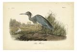 Audubon's Blue Heron Reproduction d'art par John James Audubon