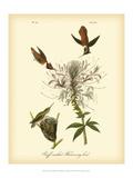 Ruff-neck Hummingbird Reproduction d'art par John James Audubon