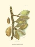Almond Reproduction d'art