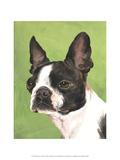 Dog Portrait  Boston