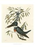 Antique Kingfisher II