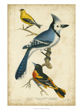 Wilson's Blue Jay