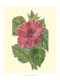 Chinese Rose Mallow