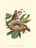Scarlet Tanager & Nest