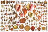 Laminated North American Shells Educational Science Chart Poster