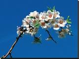 Amandier En Fleurs Tableau sur toile par Jacques Boussaroque