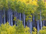 Aspen Trees in Autumn Hues