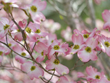 A Profusion of Pink Dogwood Blossoms