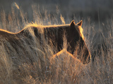 A Wild Chincoteague Pony at Sunset in Golden Sunlight