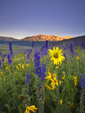 Wildflowers in the Rocky Mountains at Sunrise