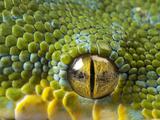The Eye of a Green Tree Python, Morelia Viridis Papier Photo par Joel Sartore