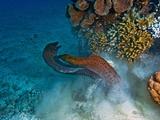 Moray Eels Battle for a Hiding Spot in Challenger Bay Papier Photo par David Doubilet