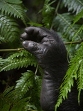 The hand of a mountain gorilla pokes from the rain forest