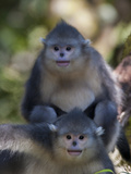 Two Juvenile Yunnan Snub-Nosed Monkeys Looking at the Camera
