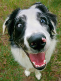 A Goofy  Deaf Australian Shepherd Dog Smiles at the Camera