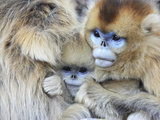 A Snub-Nosed Monkey Family Huddles for Warmth in Freezing Temperatures