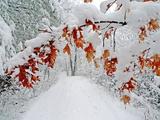 Snow Arches an Oak Tree Branch over a Road Through a Snowy Forest Papier Photo par Amy & Al White & Petteway