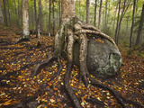 The Roots of a Yellow Birch Tree Wrap Around a Boulder