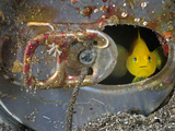 A Yellow Goby Peers Through the Window of Its Corroded Soda-Can Home